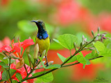 Plain-throated, Olive-backed and Purple-throated Sunbirds