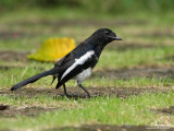 Oriental Magpie-Robin (sub-adult Male)   Scientific name - Copsychus saularis   Habitat - Uncommon, in all levels of second growth and cultivated areas in the lowlands.   [40D + 100-400 L IS, hand held]