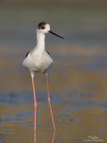 Black-winged Stilt   Scientific name: Himantopus himantopus   Habitat: Wetlands from coastal mudflats to ricefields   [1DM2 + Sigmonster (Sigma 300-800 DG)]