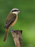 Brown Shrike   Scientific name - Lanius cristatus   Habitat - Common in all habitats at all elevations.   [40D + 500 f4 L IS + Canon 1.4x TC, hand held, +0.5 EC in RAW conversion]