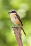 Brown Shrike   Scientific name - Lanius cristatus   Habitat - Common in all habitats at all elevations.   [40D + Sigmonster + Sigma 1.4x TC, MF via Live View, manual exposure, 475B tripod/3421 gimbal head resized full frame]
