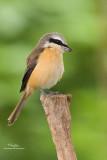 Brown Shrike   Scientific name - Lanius cristatus   Habitat - Common in all habitats at all elevations.   [40D + Sigmonster + Sigma 1.4x TC, MF via Live View, manual exposure, 475B tripod/3421 gimbal head, resized full frame]