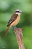 Brown Shrike   Scientific name - Lanius cristatus   Habitat - Common in all habitats at all elevations.   [Resized full frame - 40D + Sigmonster + Sigma 1.4x TC, MF via Live View, manual exposure, 475B tripod/3421 gimbal head]