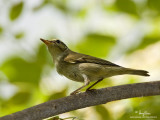 Arctic Warbler   Scientific name - Phylloscopus borealis   Habitat - Variety of forest types at all levels and elevations.   [40D + 500 f4 L IS + Canon 1.4x TC, Manfrotto 475B tripod/3421 gimbal head]