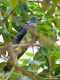 Philippine Hawk-Cuckoo 