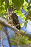 Cuckoos and Drongo-cuckoos
