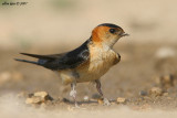 Red-rumped Swallow Hirundo daurica