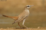 Rufous-tailed Scrub-robin - Cercotrichas galactotes