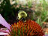 CARPENTER BEE ON ECHINACEA