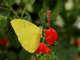 Clouded Sulphur Butterfly Colias philodice