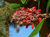 Magnolia Seed Cone