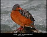 Torrent-Duck