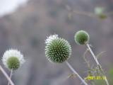 Al-Habla flowers II without flash.jpg