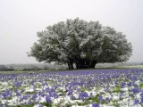 Bluebonnets and snow 2007