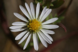 Hall's aster  Aster chilensis ssp. hallii (syn. A. hallii)