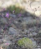 Spiny fameflower  Talinum spinescens