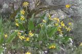 Balsamorhiza careyanna