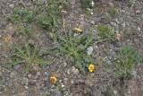 Balsamorhiza incana