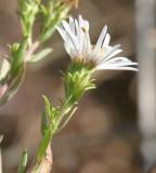 Aster chilensis ssp. hallii (syn. A. hallii)