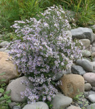 Aster subspicatus