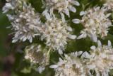 Petasites frigidus v. palmatus