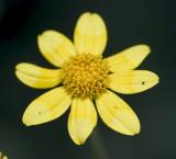 Eriophyllum lanatum  Oregon sunshine