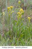 Solidago spathulata  Spiked goldenrod