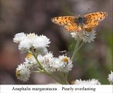Anaphalis margaratacea