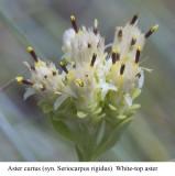 White-top aster  Aster curtus  (Seriocarpus rigidus)