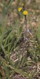 Hieracium gracile