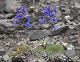 Delphinium glareosum  Scree larkspur