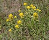 Castilleja hispida (yellow form)