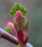 Ribes sanguinium  Red currant