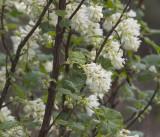 Ribes sanguinium (white form)