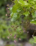 Ribes lacustre