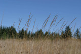 Agrostis diegoensis