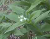 Maianthemum stellatum  Star-flowered solomon's-seal