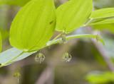 Streptopus amplexifolius v. americanus