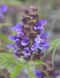 Prunella vulgaris  Self heal
