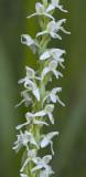 Platanthera stricta syn. P. dilatata