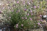 Petalostemon ornatum