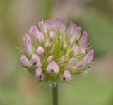 Trifolium microcephalum (not macro)