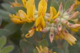 Lotus nevardensis