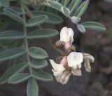 Astragalus australis. v. olympicus  (syn A. cottonii)  Cotton's milk-vetch