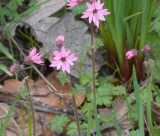 Lithophragma parviflora  small-flowered prairie-star