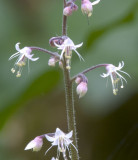 Tiarella trifoliata  three-leaf foamflower