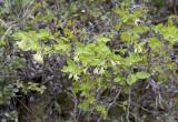 Lonicera utahensis  Utah honeysuckle