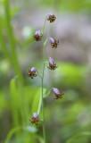 Stenanthium occidentale