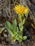 Lyall's goldenweed  Haplopappus (Tonestus) lyallii