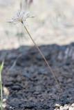 Allium acuminatum  Taper-tip onion